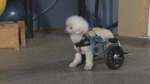 How can a wheelchair help a disabled dog?