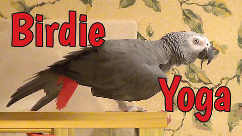Flexible parrot demonstrates birdie yoga moves