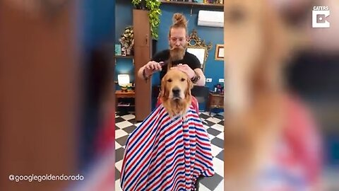 JUST A LITTLE OFF THE TOP: DOGGO SITS PATIENTLY AS RECEIVES FUR CUT FROM BARBER