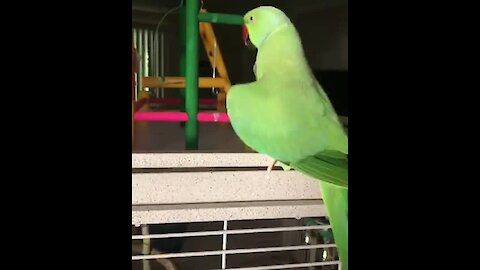 "Bouncing parrot repeatedly says ""I love you, baby"""