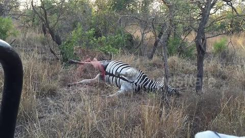 Leopard gets sprayed with intestine fluid as zebra carcass explodes