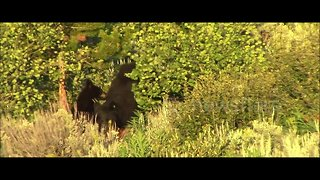 Incredible footage of black bear saving her cubs from male in Yellowstone