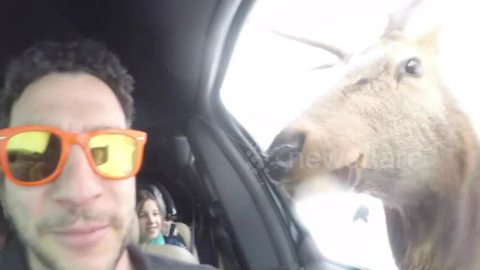 Get up close and personal with an elk as it licks a man's camera