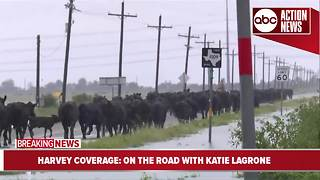 Cattle rescues underway on roads in Texas following floods - Video