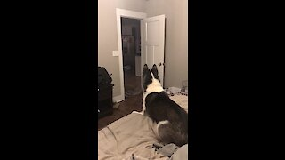 Confused husky shocked with disappearing prank