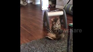 Is she a dog? Cat catches her tail in bizarre role reversal