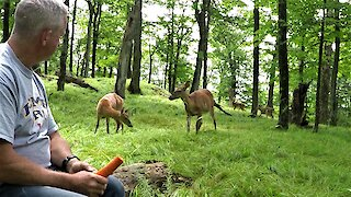 Curious wild deer bring fawns from the forest to meet man munching on a carrot