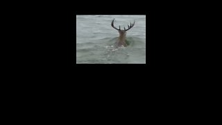 'Giant Deer' Spotted Swimming in Lake Texoma - Video