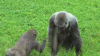 A Baby Gorilla Teasing Its Mom Is The Best Zoo Footage You'll See Today. - Video