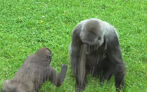 Playful baby gorilla annoys its mom