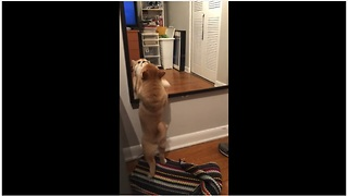 Shiba Inu puppy desperate to make contact with reflection