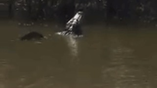 Growling Alligator Rumbles a Mating Call In Arkansas Lake - Video