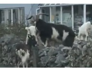 Herd of Wild Goats Scampers Unchecked in Southwest Ireland - Video