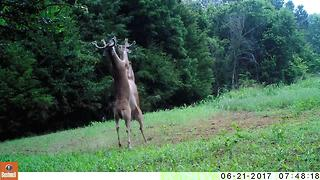Wildlife trail cameras capture epic fight between two bucks in Tennessee - Video