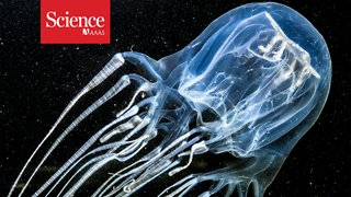 Box jellyfish stings kill—but how often? - Video