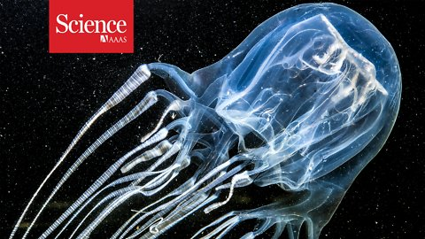 Box jellyfish stings kill—but how often?
