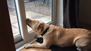 Labrador can't fathom bug on other side of glass - Video