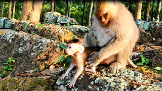 Baby Monkey Brutus Jr Fall, Then Mom Bring Up Temple