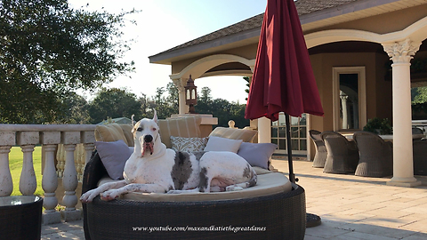 Funny Talking Great Danes Relax on Deck Loungers