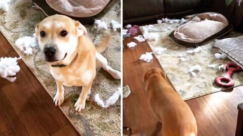Guilty Retriever! Mum Returns Home To Find Golden Retriever Has Destroyed Dog Bed