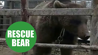 The moment rescuers free brown bear who spent two years inside filthy cage - Video