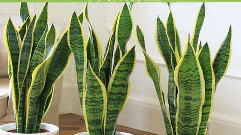 These Plants Are Oxygen Bombs - Have At Least One Of Them To Clean The Air At Your Home