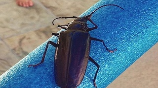 MONSOON BUGS! 8 things you want to know about Palo Verde Beetles - ABC15 Digital - Video