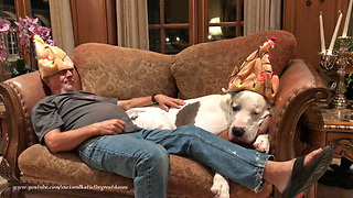 Funny Great Dane Snores on the Sofa While Cats Check Out Christmas Tree  - Video