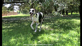 Funny Great Dane Loves To Run Stick Zoomies