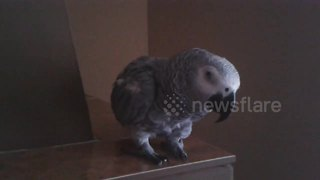 Angry pet parrot leaps at owner's camera - Video