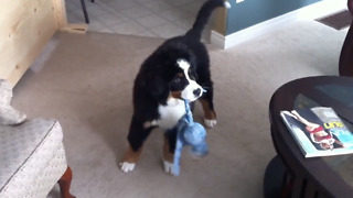 Bernese Mountain Dog Goes Crazy Over His Toy - Video