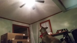 Jumping dog tries to catch ceiling fan - Video
