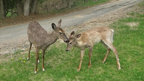 Mother deer & fawn surprisingly calm around humans