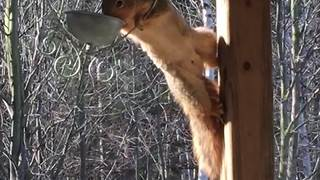 Squirrel Tries To Jump Into Bird Feeder But Fails - Video