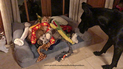 Funny Cat Tunnels Through Great Dane's Toy Box