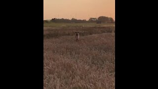 Dog hilarious hops through field like a kangaroo