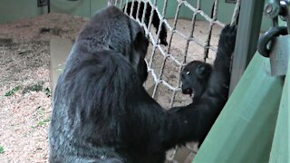 Gorilla baby and father have an adorable tickle fest during playtime