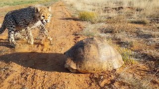 Puzzled cheetahs can't get their heads around tortoise's looks