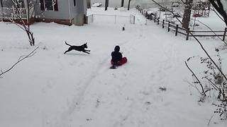 """""""A Dog Tackles A Woman On A Sled"""""""