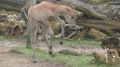 Wild young foal jumps for joy!
