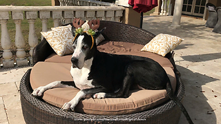 Festive Great Danes soak up Florida sun - Video