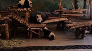 Baby Panda Takes A Tumble - Video
