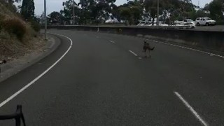 Kangaroo Takes to the Highway, Surprising Cyclists