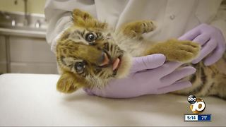 Smuggled tiger cub nursed back to health - Video