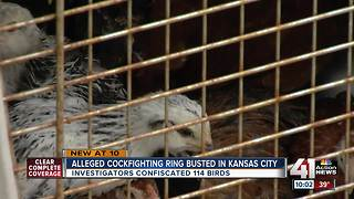 Suspected cockfighting ring busted in KC - Video