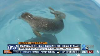 Marmalade the seal to be released back into the ocean