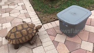 """""""Out of my way, box!"""" Tortoise rams plastic container"""