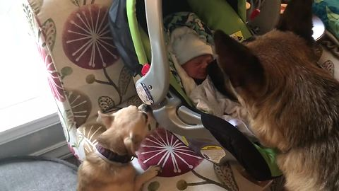 Dogs Meet Newborn Baby For The First Time