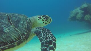Beautiful endangered hawksbill sea turtle glides over the coral in Belize