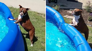 Boston Terrier is absolutely ecstatic for pool time
